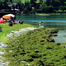 Senza battello spazzino  Vercurago invaso dalle alghe
