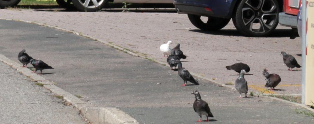 Costa Masnaga invasa dai piccioni  L'antidoto una pasta al silicone