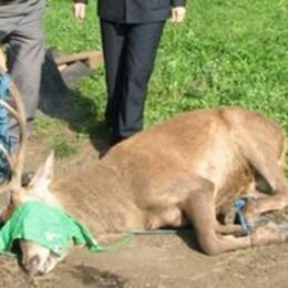 Valgreghentino, ucciso dal cervo scappato. La proprietaria condannata a otto mesi