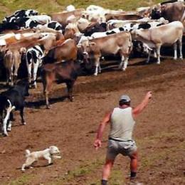 I cani pastore   danno ancora spettacolo