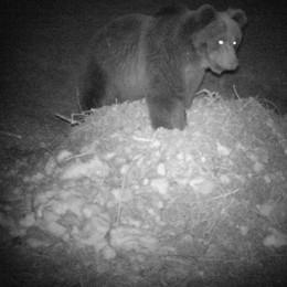 L'orso spunta a Novate Mezzola  Per una scorpacciata di miele