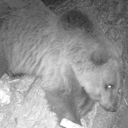 Adesso l'orso è uscito dal letargo  Va a spasso in Alta Val dei Ratti