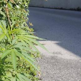 Lecco. Tra le erbacce spuntano  le piantine di marijuana