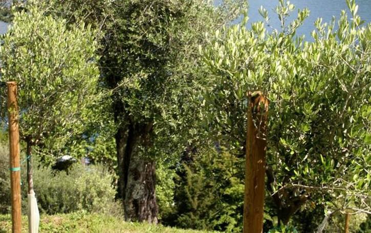 Perledo, i profughi raccolgono olive  nella piantagione del sindaco