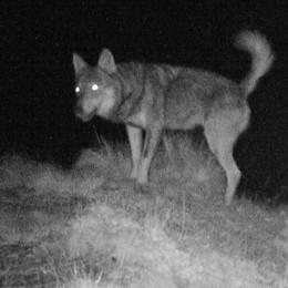Quattro capre sbranate sopra Cavargna  La polizia provinciale: «È stato il lupo»