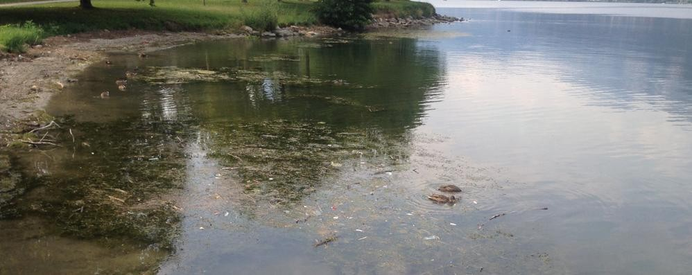 Quintali di alghe accumulate a riva  Chiusa la pista ciclabile per la puzza