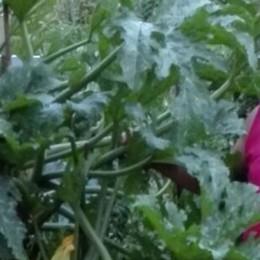 La zucchina è da record  Una pianta alta due metri