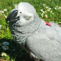 La fuga del pappagallo da mille euro   che canta come Tony Renis