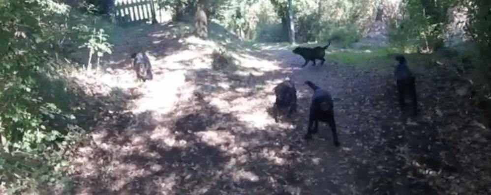 Accerchiato da una muta di cani feroci  Ciclista brianzolo salvo per miracolo