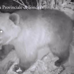 È tornato l'orso M25  Avvistato ancora in Valtellina