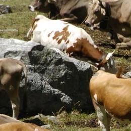 Le multe arrivano anche sull'alpeggio  Poche vacche da latte, punita la coop