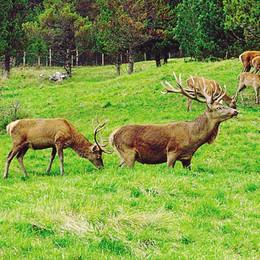 I cacciatori o gli ambientalisti?  La Provincia ha scelto i  cervi