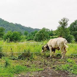 Allarme per un toro in libertà  Lipomo, intervengono i vigili