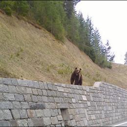 L'orso è arrivato in Valtellina   Guarda le immagini nel video
