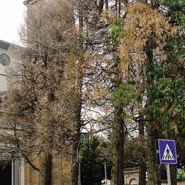 Sono morti i cedri  di Sant'Ambrogio