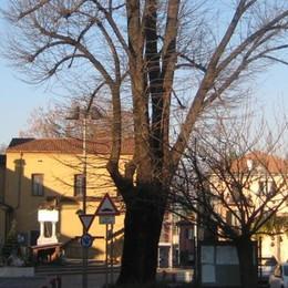 Addio al tiglio in piazza Garibaldi  Era uno dei simboli di Imbersago