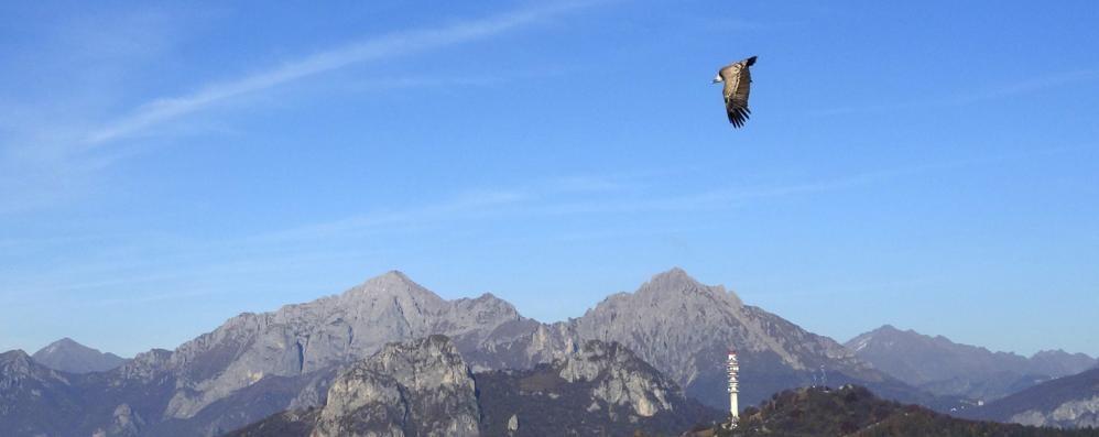Civate, raro grifone   avvistato sul Cornizzolo