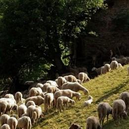 Gli alpeggi comunali verso il degrado  Moggio chiede l'aiuto delle pecore