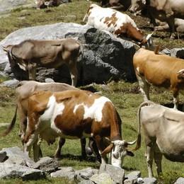 È allarme caldo anche per le mucche: cala il latte prodotto