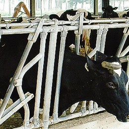 Animali sotto stress  Nelle stalle scatta l'operazione refrigerio