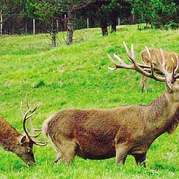 Caccia al cervo sulla Colmen  Sette esemplari già abbattuti