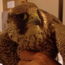 Vietate gite e camminate  «Il falco ha costruito il nido»