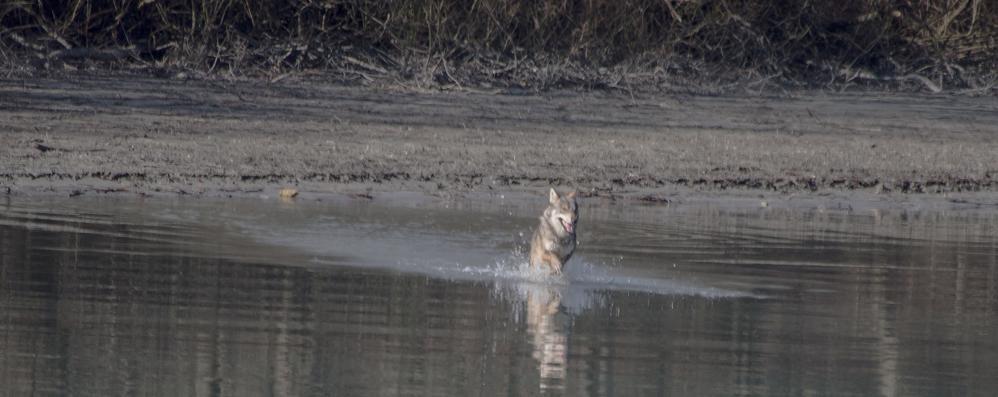 A tu per tu con un lupo in riva al fiume