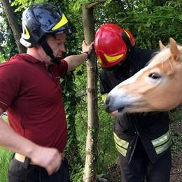 Un cavallo a spasso lungo via Alserio  I vigili del fuoco lo riportano a casa