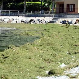 Cinque camion di alghe a Vercurago  Giornata campale per raccoglierle