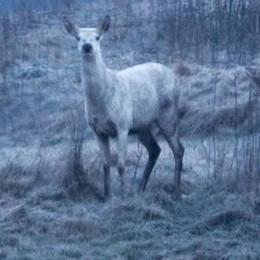 Un cervo albino al Pian di Spagna  Ne nasce uno ogni ventimila