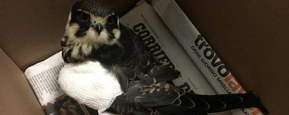 Falco impallinato dai cacciatori  Malconcio in un campo a Sirone