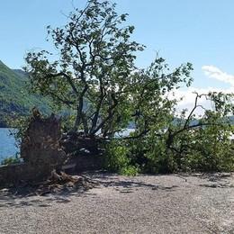 Il vento spazza via la storia  Urio ha perso il suo ippocastano