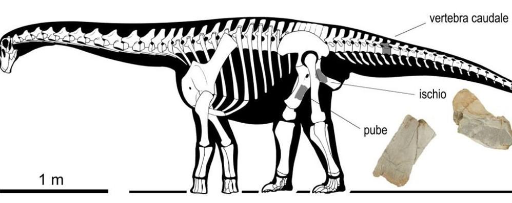 L'antenato dei titanosauri dimenticato in cantina