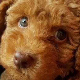 Olginate, cucciolo ucciso dalle polpette  Torna la caccia al killer dei cani