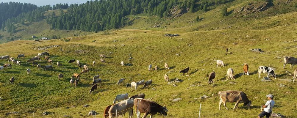 Siccità: bestiame rientra da alpeggi con 10 giorni anticipo