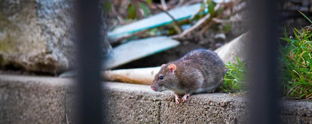 Calolzio, invasione di topi a Sala  Fili rosicchiati in case e auto