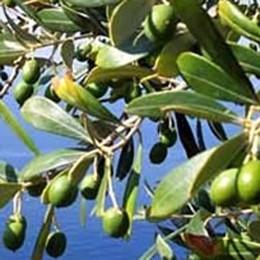 Piante d'olivo a basso costo  Terrazzamenti da salvare