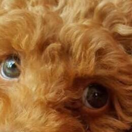 Traffico di cuccioli di cane Indagini anche nell'Erbese