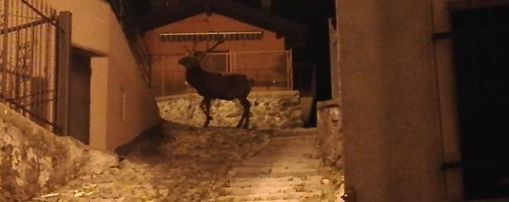 Cervo a passeggio in piazza  A Casasco ormai è la norma