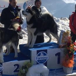 Si chiama Black Star e abita a Margno  È lui il cane da neve più bello d'Italia