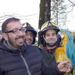 Lurago d'Erba  Salvato pappagallo   a 20 metri di altezza