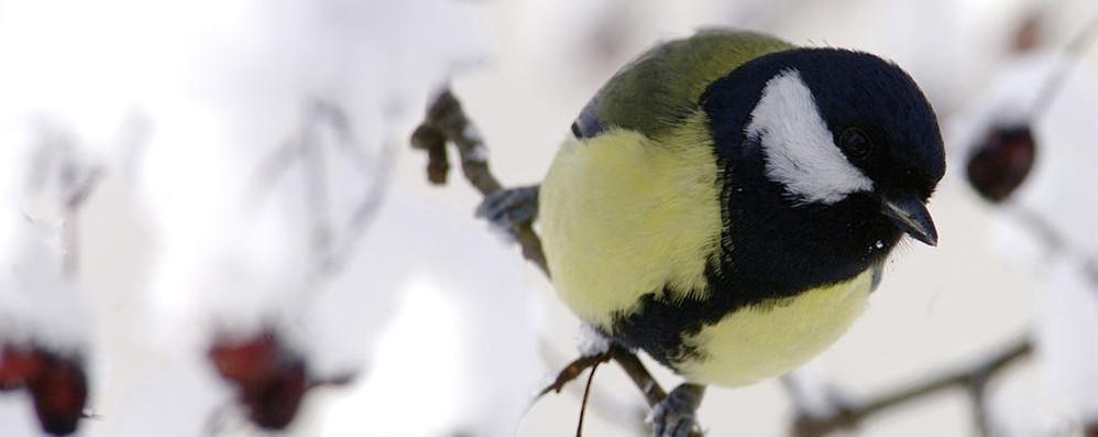 Come aiutare gli uccellini al gelo  «Sul davanzale briciole, ma non di pane»