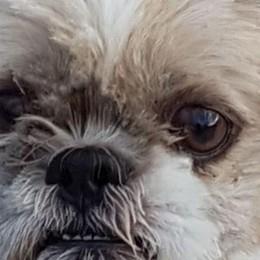 Sirtori, cucciolo azzannato da due cani    «Aggressivi perchè maltrattati»