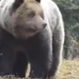 A tu per tu con l'orso:   Un 19enne incontra M18 - Il video