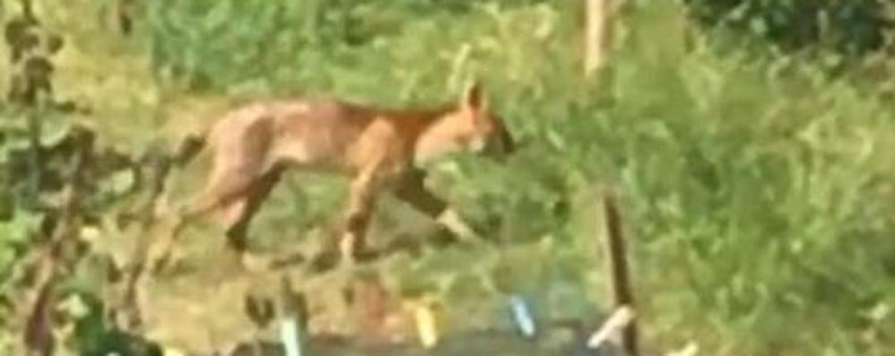Caccia al puma, Senna dà l'allarme  «State attenti a passeggiare nei boschi»