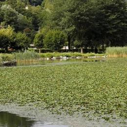 Oggiono, un prato verde lambisce il lago  Oggi il battello spazza le castagnole