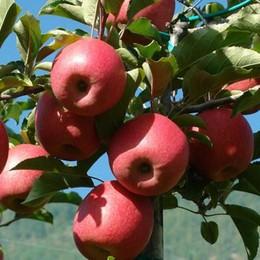 Ladri di mele anche da fuori provincia