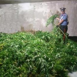 Scoperta a Mandello  una piantagione di cannabis