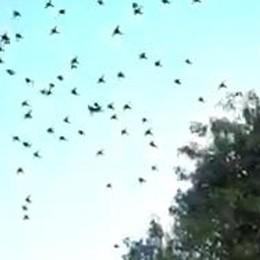 Maxi stormo di uccelli  in volo su Como. Video