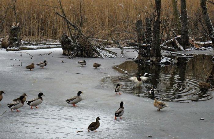 Una pozza d'acqua è la conferma che sul Segrino c'è solo un velo di ghiaccio o poco più  (Foto Veronica Tosetti)
